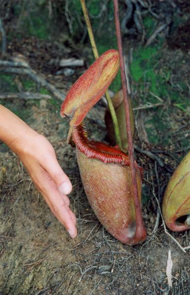 pitcherplant3